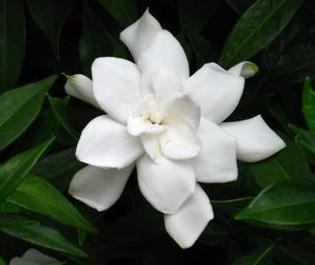Gardenia_small