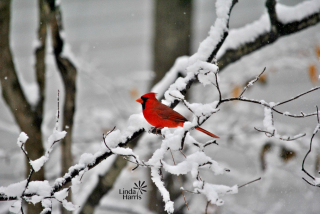 Cardinal in snow by Linda
