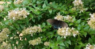 Butterfly abelia