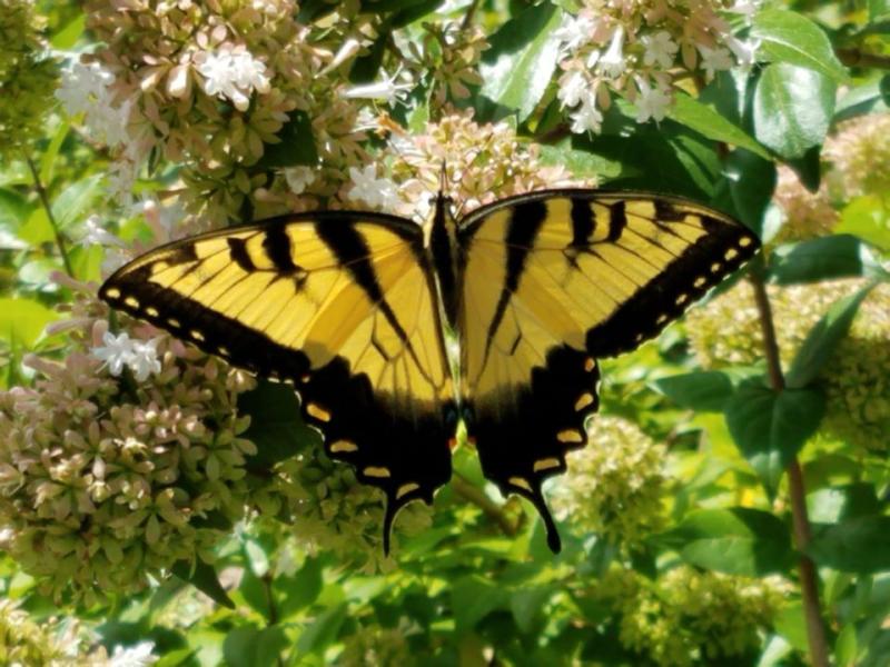 Monarch big